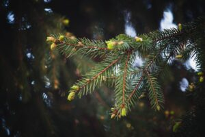 Fir pine tree buds