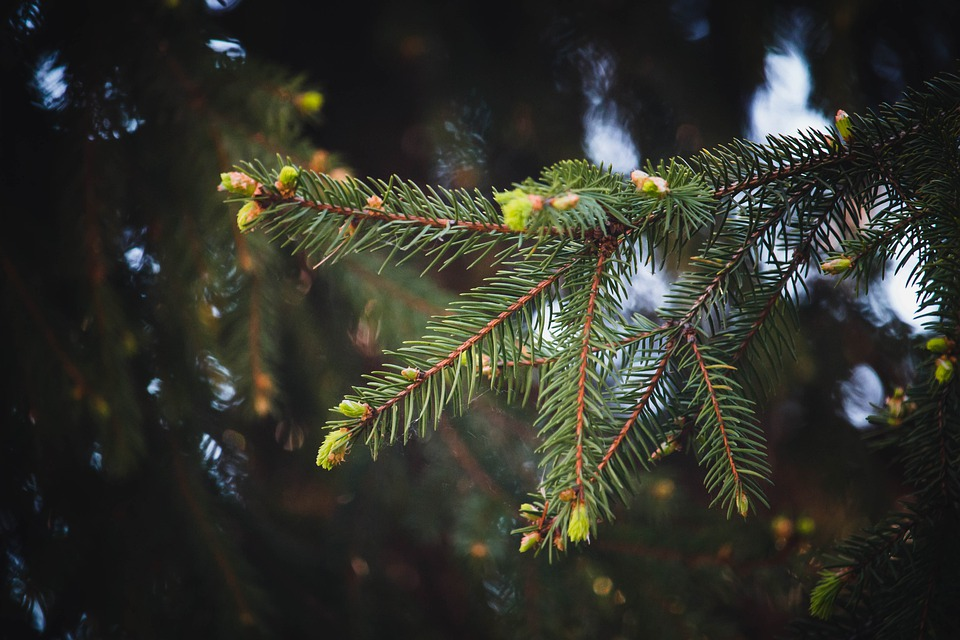 Fir pine tree buds