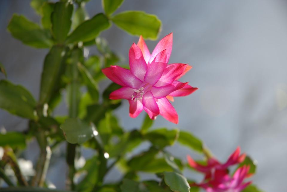 Karácsonyi kaktusz virágzása